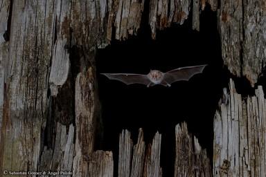 Murciélago pequeño de herradura